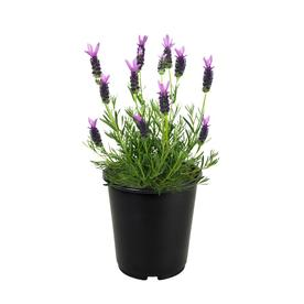 2.5-Quart in Pot English Lavender (L6071)