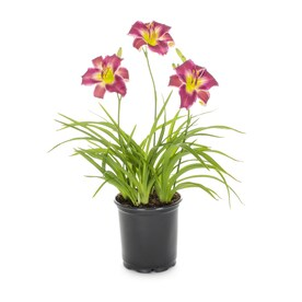 2.5-Quart in Pot Daylily