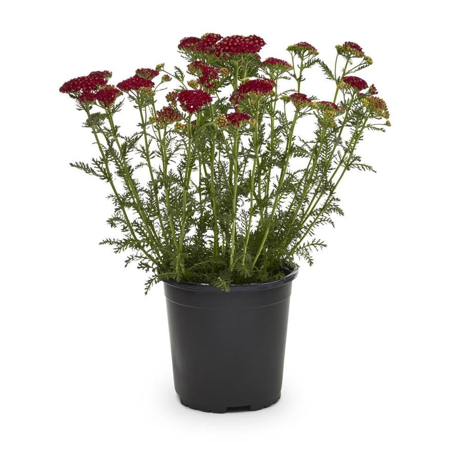 2.5-Quart Yarrow (L7030)