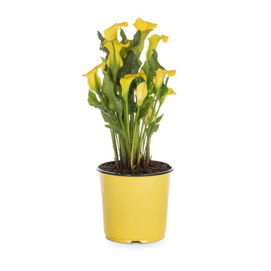 1.5-Gallon Calla Lily (LW00678)
