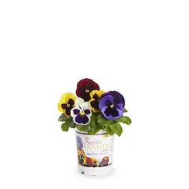 1-Quart Multicolor Majestic Giant Ii Mix Pansy in Pot (L17806)