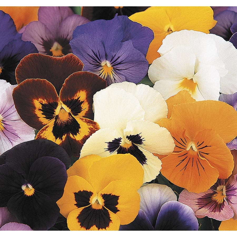 1.72-Gallon Pansy (L5048)