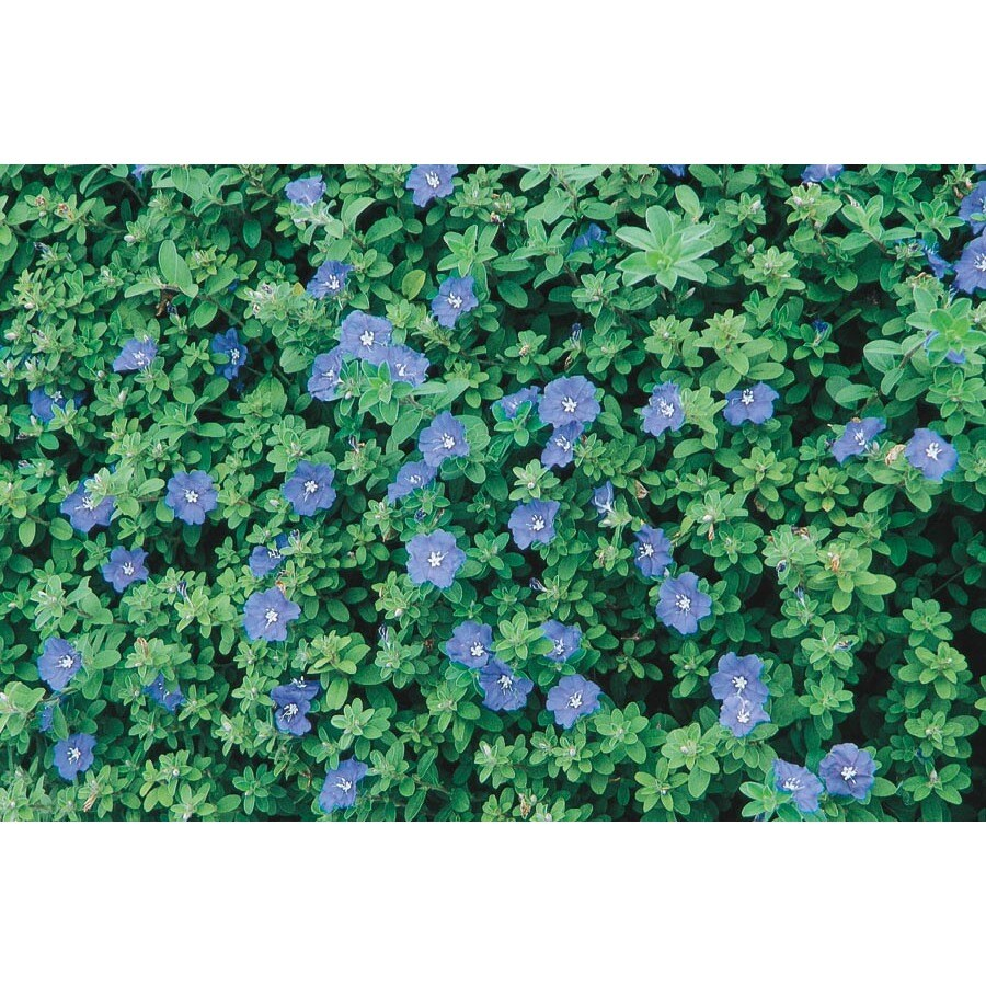 Shop 1-Quart Blue Daze Evolvulus (L6408) at Lowes.com