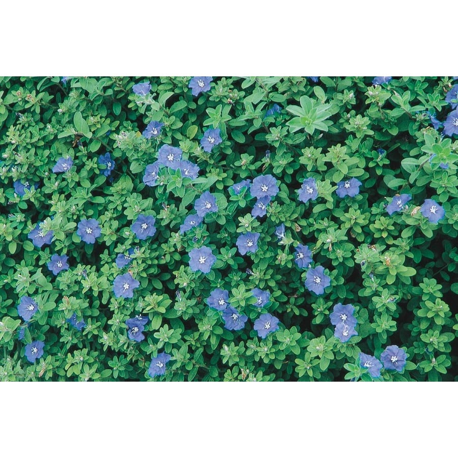 Shop 1 quart blue daze evolvulus l6408 at lowes com