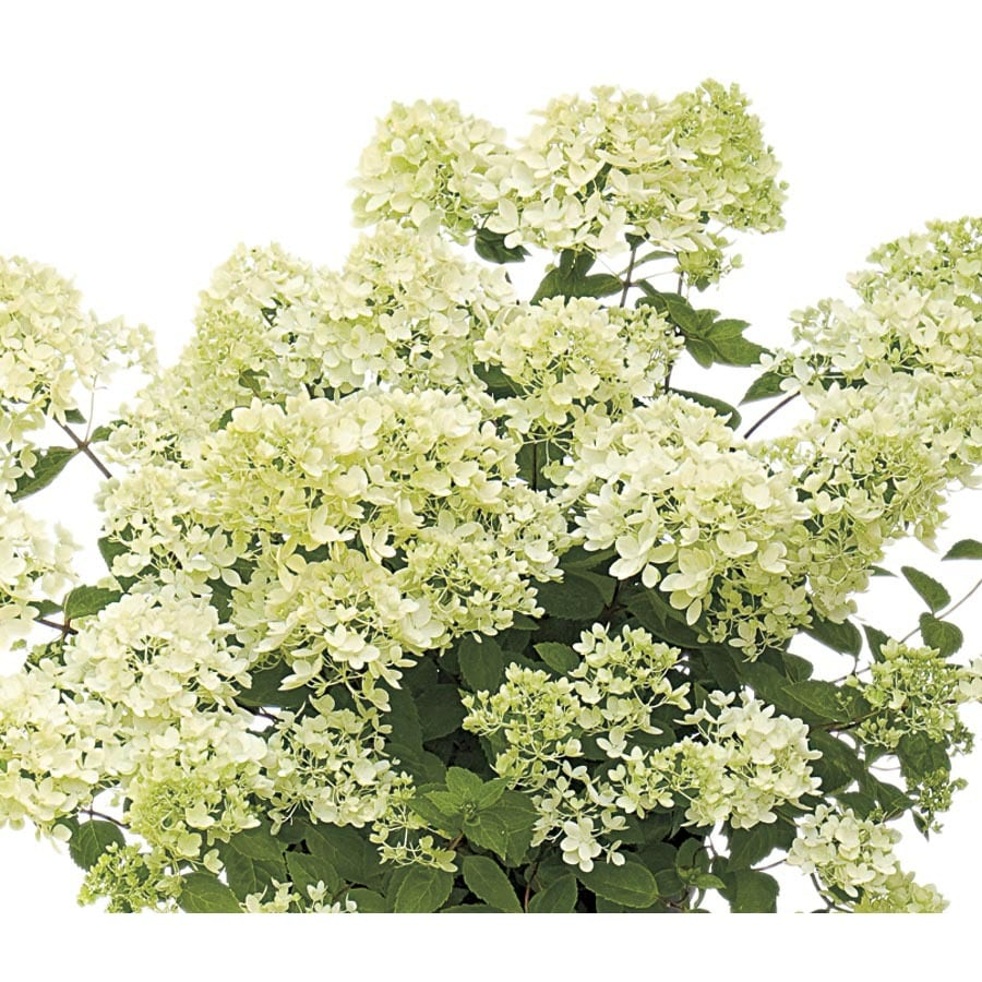 2-Gallon White Bombshell Hydrangea Flowering Shrub (L23398)