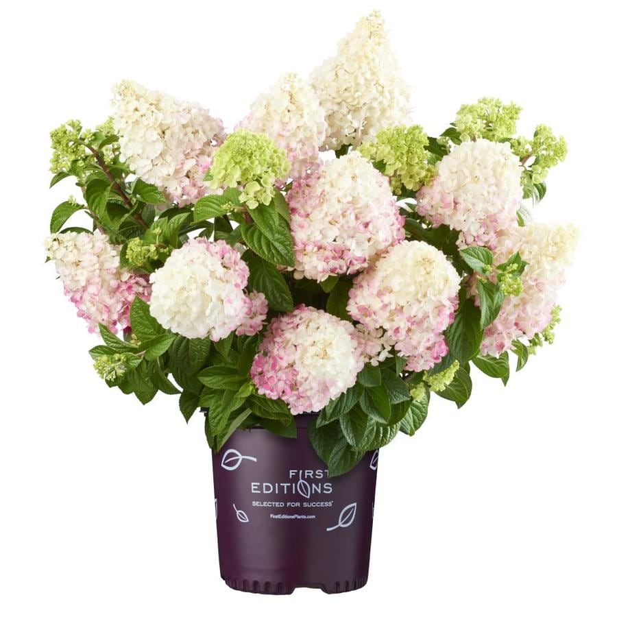 2-Gallon Bicolor Vanilla Strawberry Hydrangea Flowering Shrub (L24814)