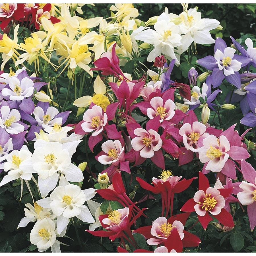 Shop 1 Gallon Potted Columbine L4950 At Lowes