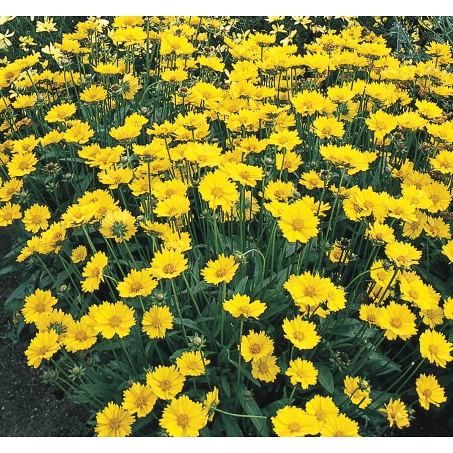 1-Gallon CoreoPSIs (L9636)