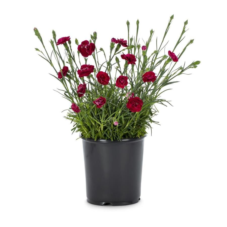 1-Gallon Dianthus (L9857)