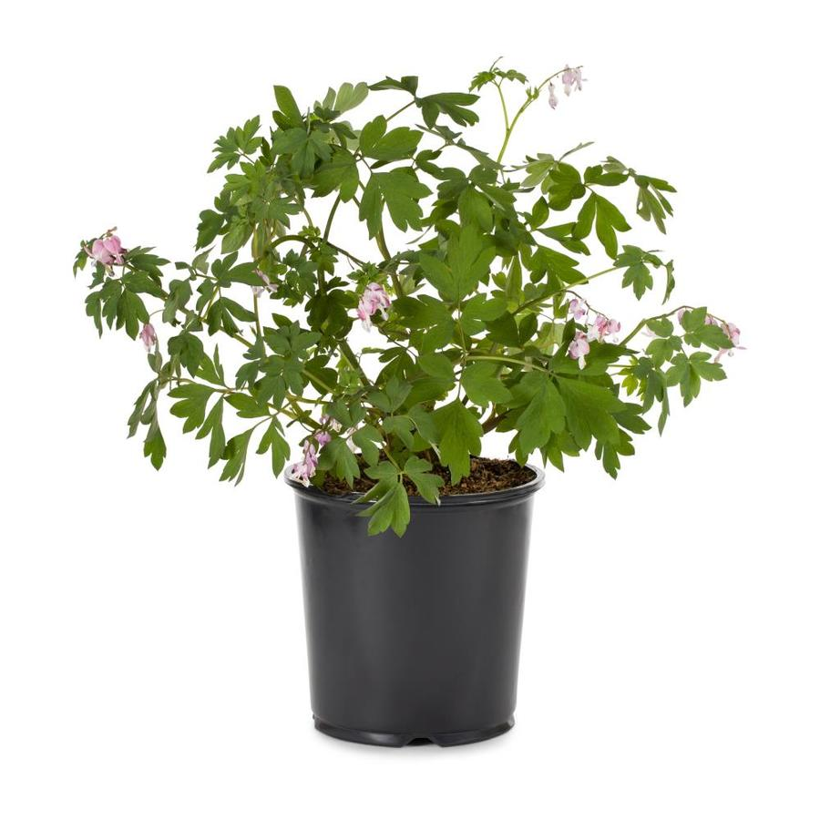 Shop 1 gallon potted bleeding heart l3481 at lowes 1 gallon potted bleeding heart l3481 izmirmasajfo