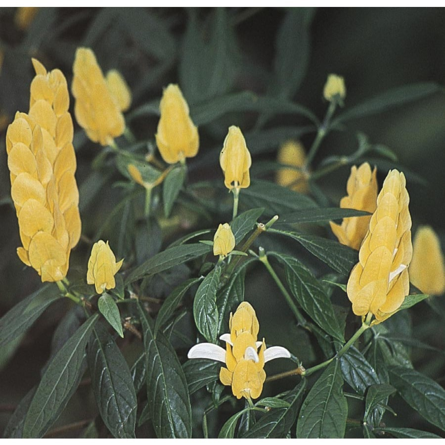 2.5-Quart Yellow Shrimp Plant (L9762)