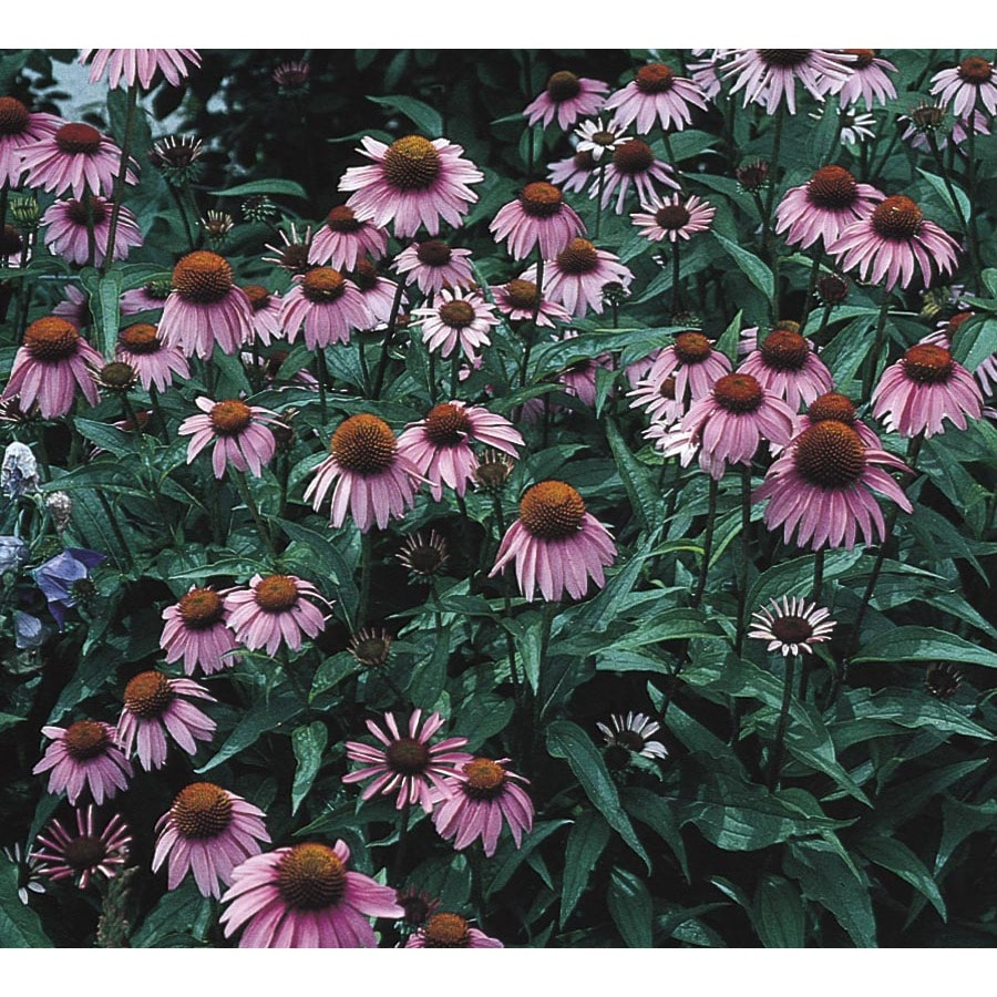 2.5-Quart Purple Coneflower (L5556)
