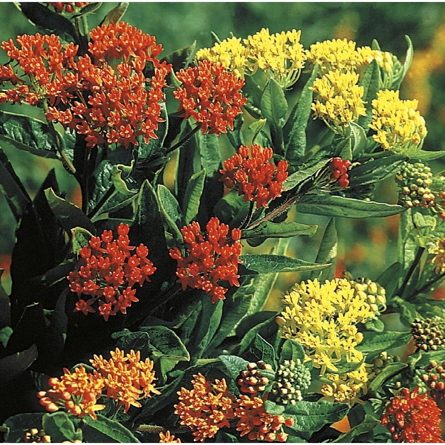2.5-Quart Butterfly Weed (L5647)