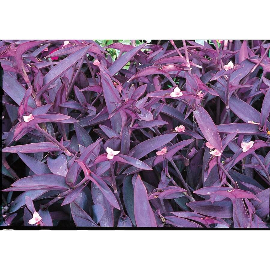 1.25-Quart Purple Queen (L9175)