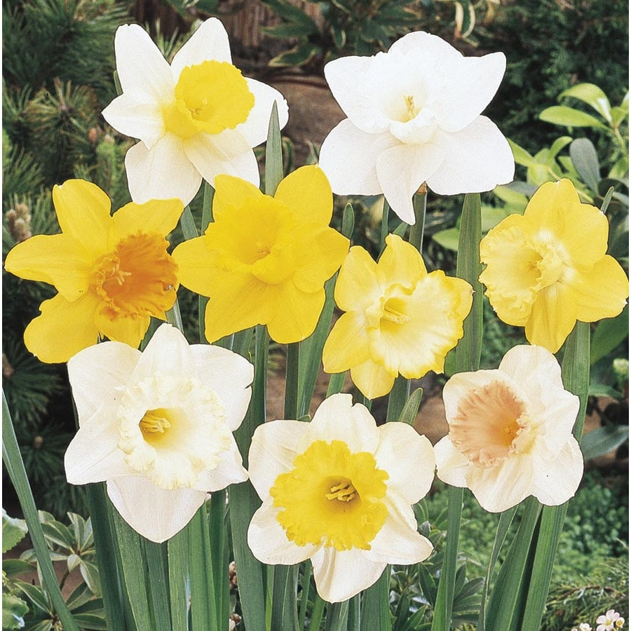 1.25 Quart(S) Daffodil Bulbs