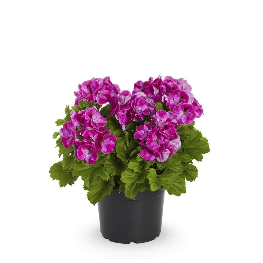 2-Quart Martha Washington Geranium (L9583)