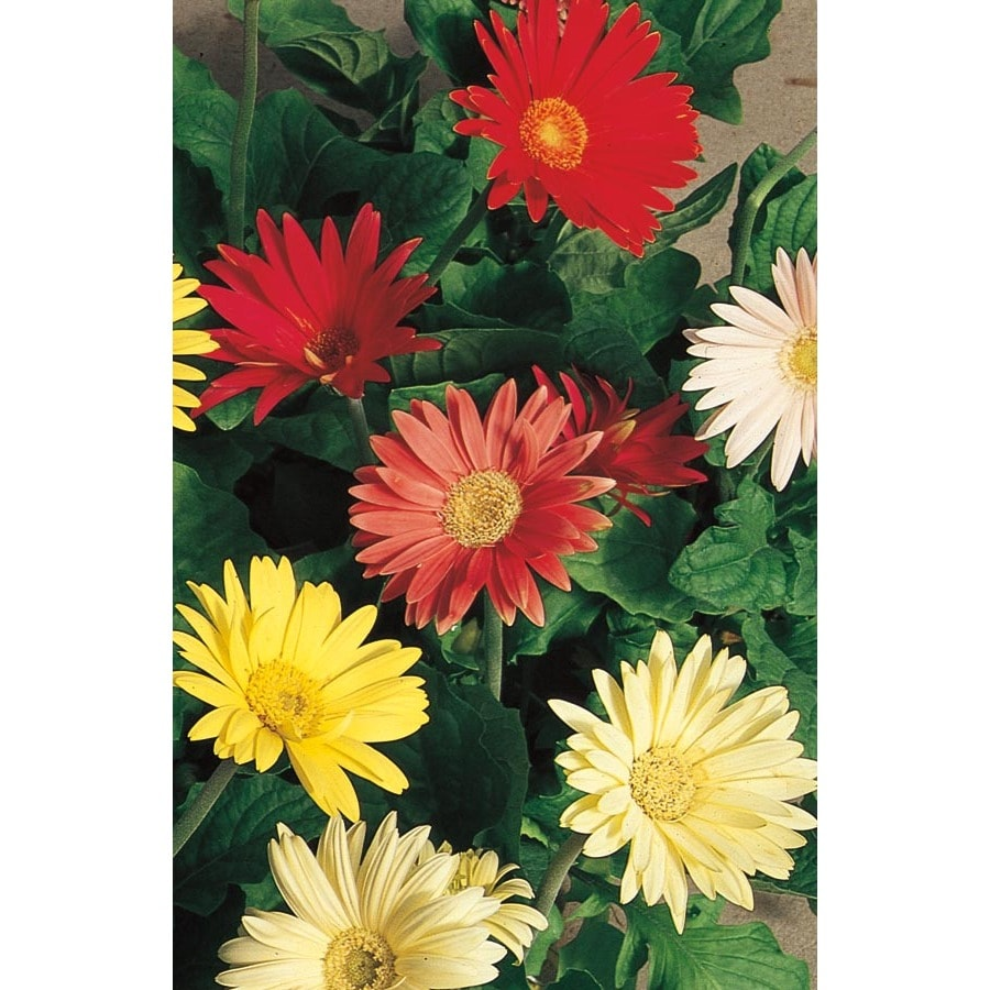 Shop 125 quart multicolor gerbera daisy in pot l3114 at lowes 125 quart multicolor gerbera daisy in pot l3114 izmirmasajfo