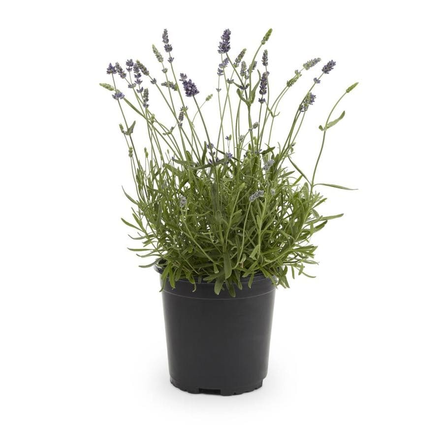2.5-Quart English Lavender (L6071)
