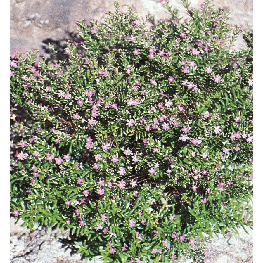 2.5-Quart Mexican Heather (L7071)