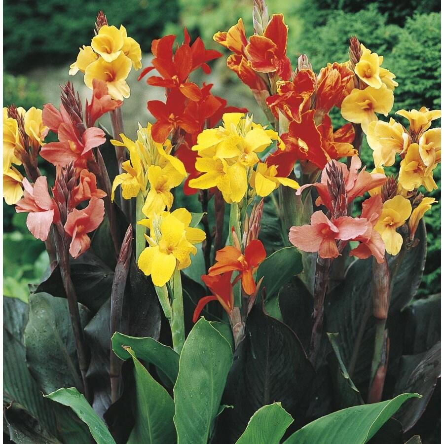 2.5-Quart Canna Lily (L3461)