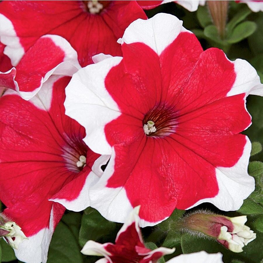 2-Quart Petunia (L17355)