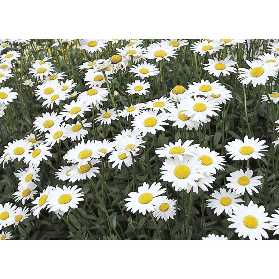 Shop 1 Gallon Potted Shasta Daisy L10999 At Lowes
