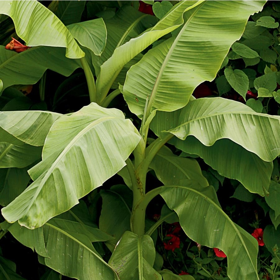 1-Gallon Hardy Banana (Lw02540)