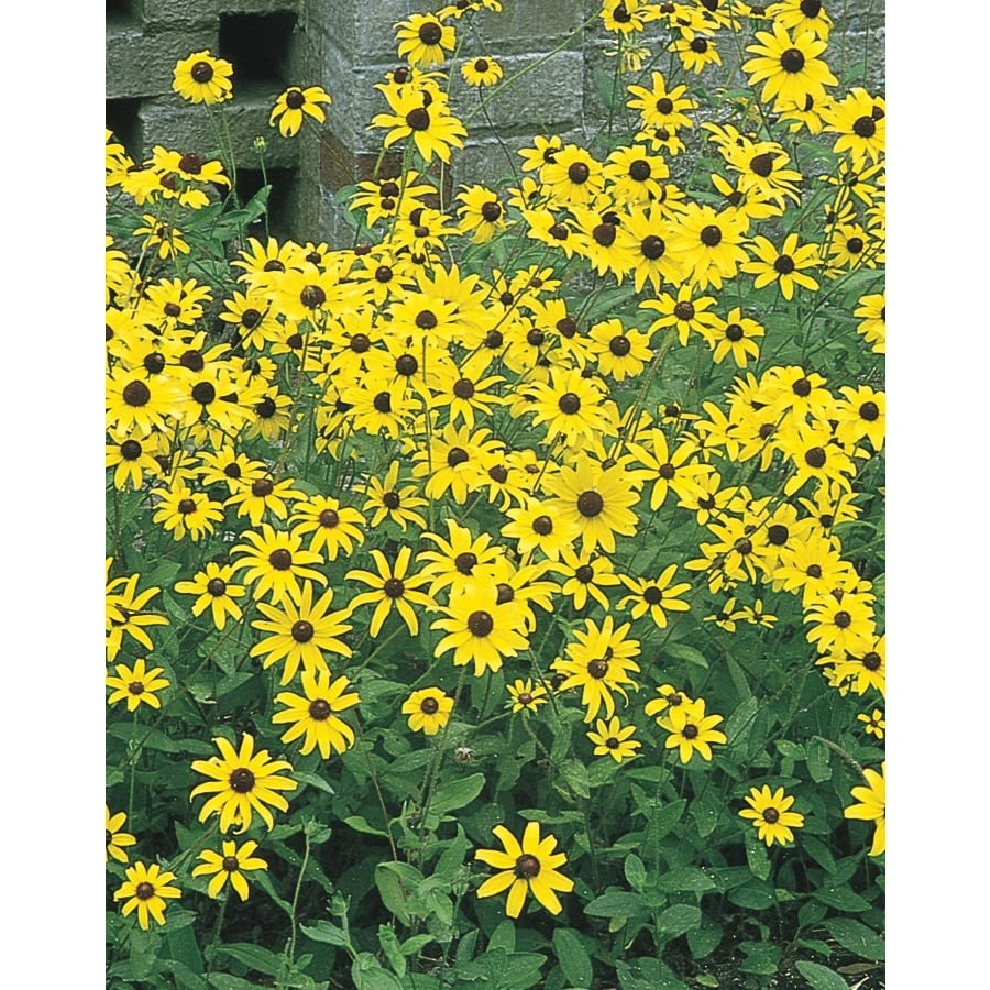 1 Gallon Potted Black Eyed Susan L5336 At Lowescom