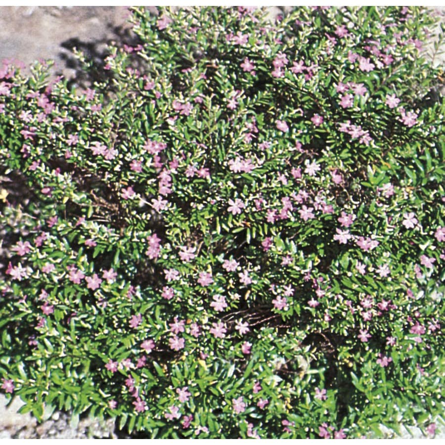 1-Gallon Mexican Heather (L7071)