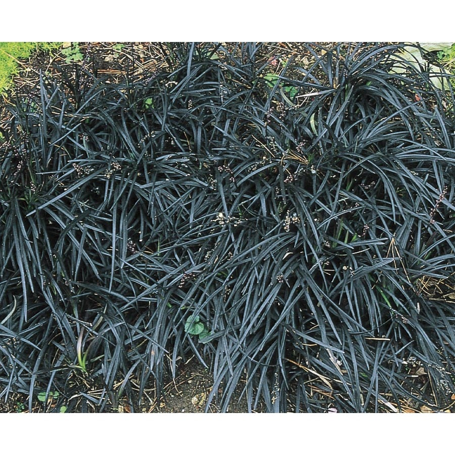 1-Pint Black Mondo Grass (L11608)