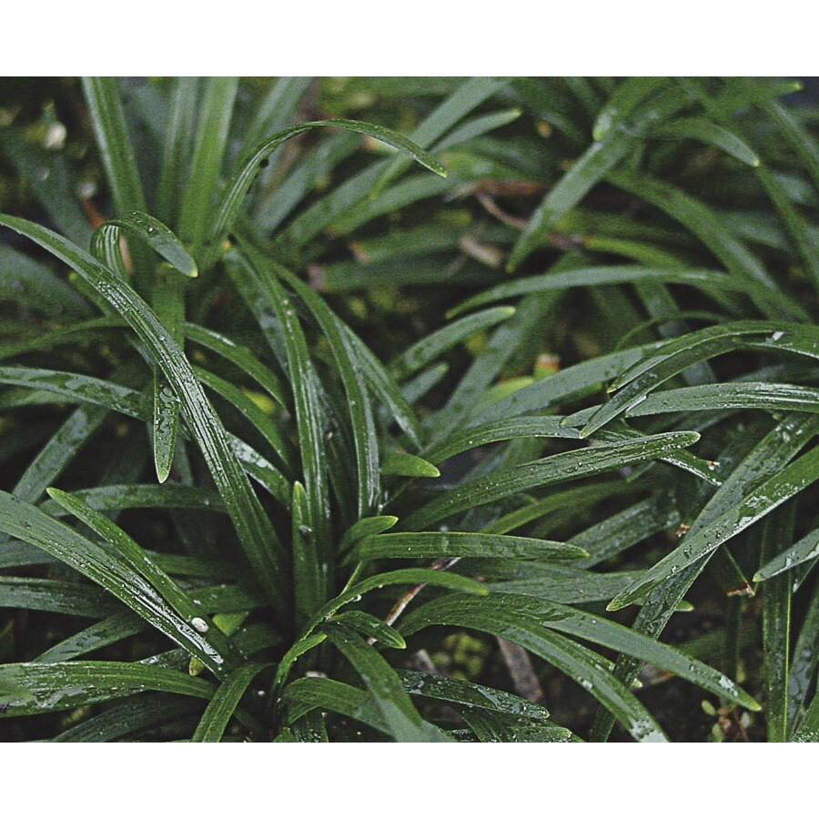 1-Pint Dwarf Mondo Grass Pot (L5449)