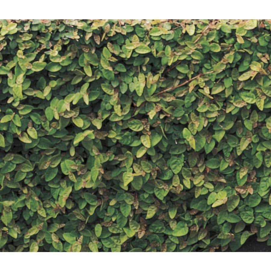 1-Pint Creeping Fig Pot (L9249)