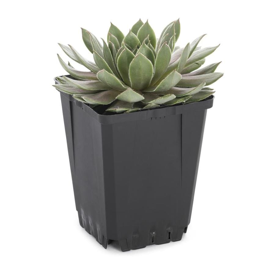 1-Pint Hardy Hens and Chicks Pot (L24889)