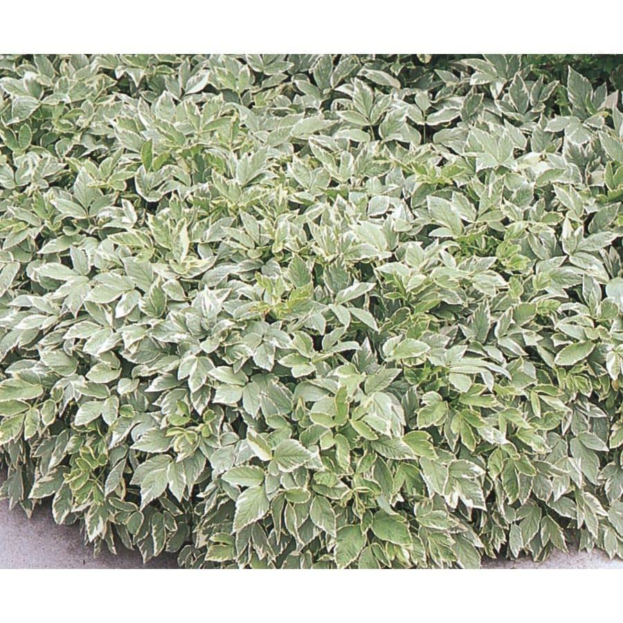 1-Quart Goutweed Pot (L8014)