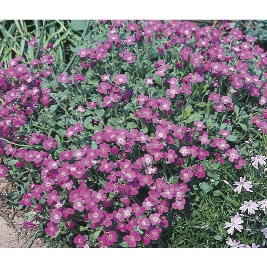 1-Quart Purple Rockcress (L4953)
