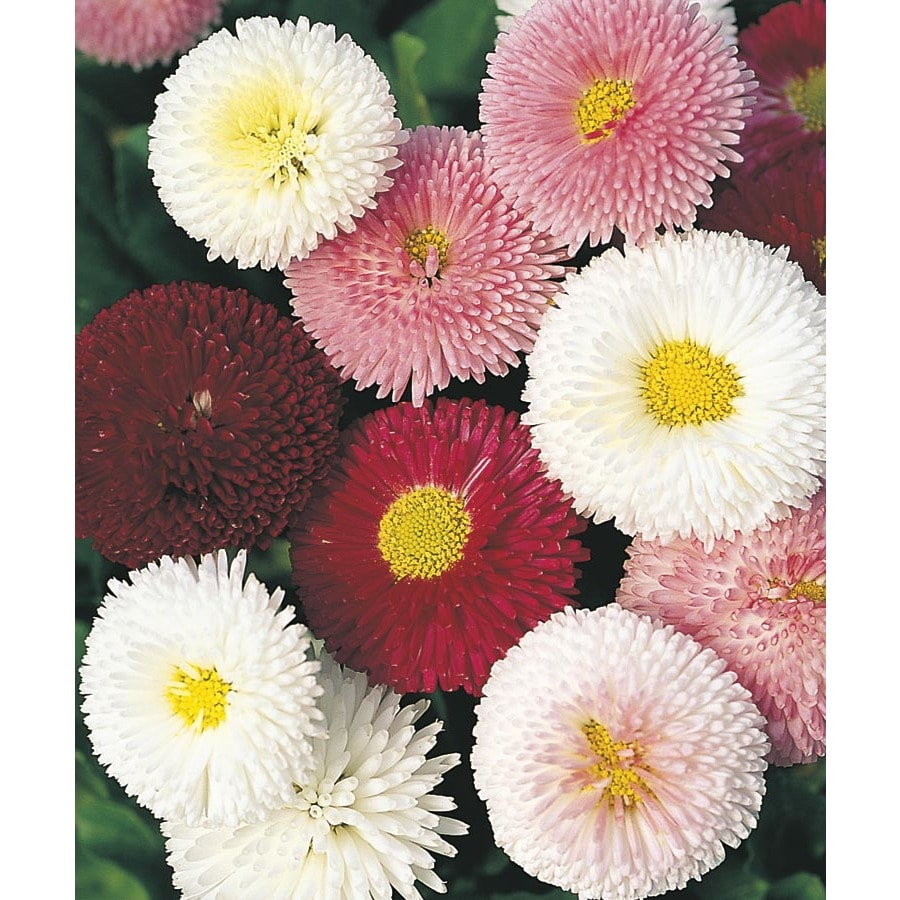 1-Quart English Daisy (L24885)