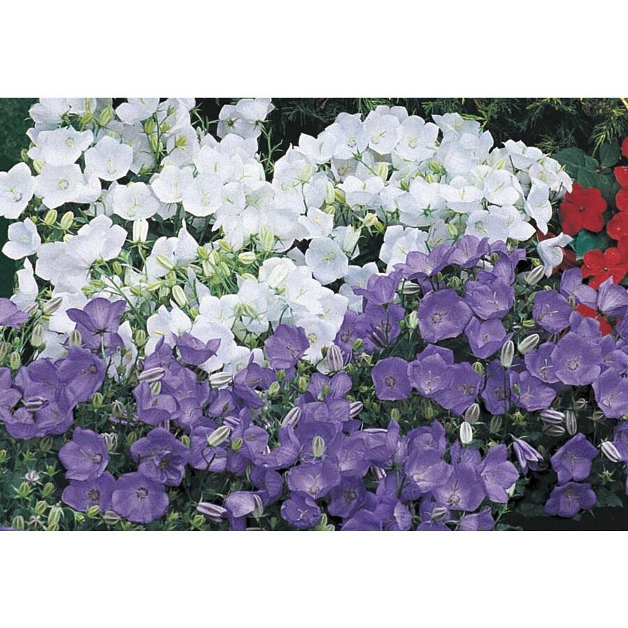 1-Quart Carpathian Bellflower (Lw02437)