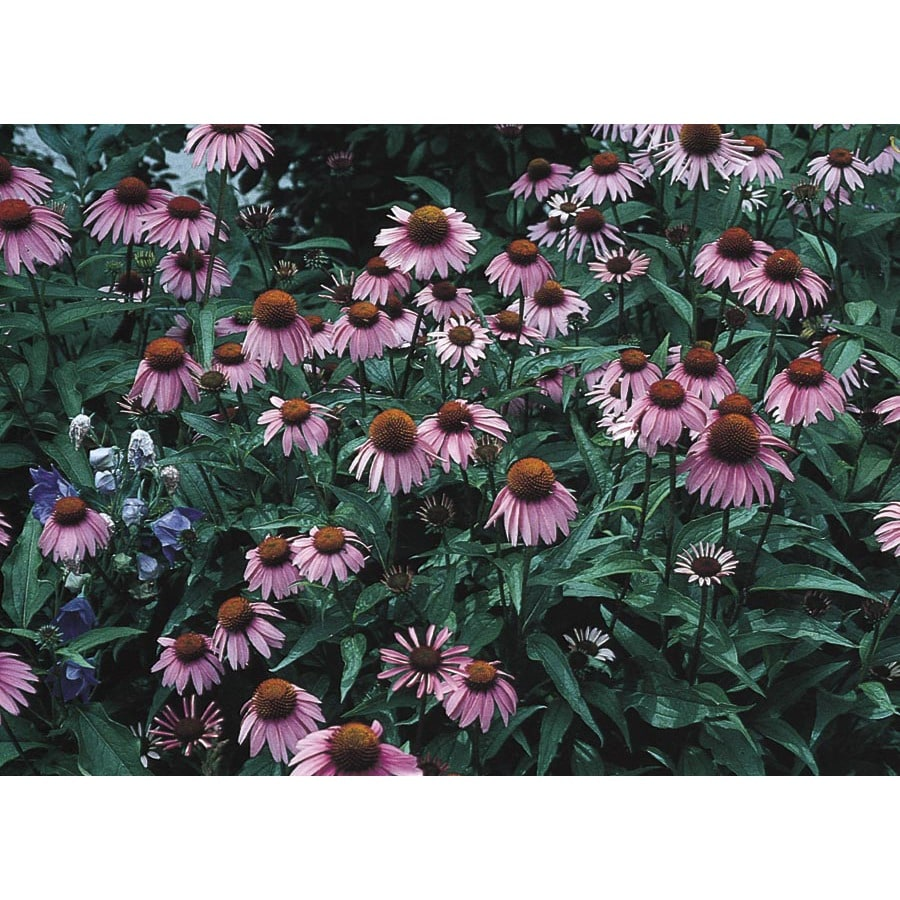 1-Quart Purple Coneflower (L5556)
