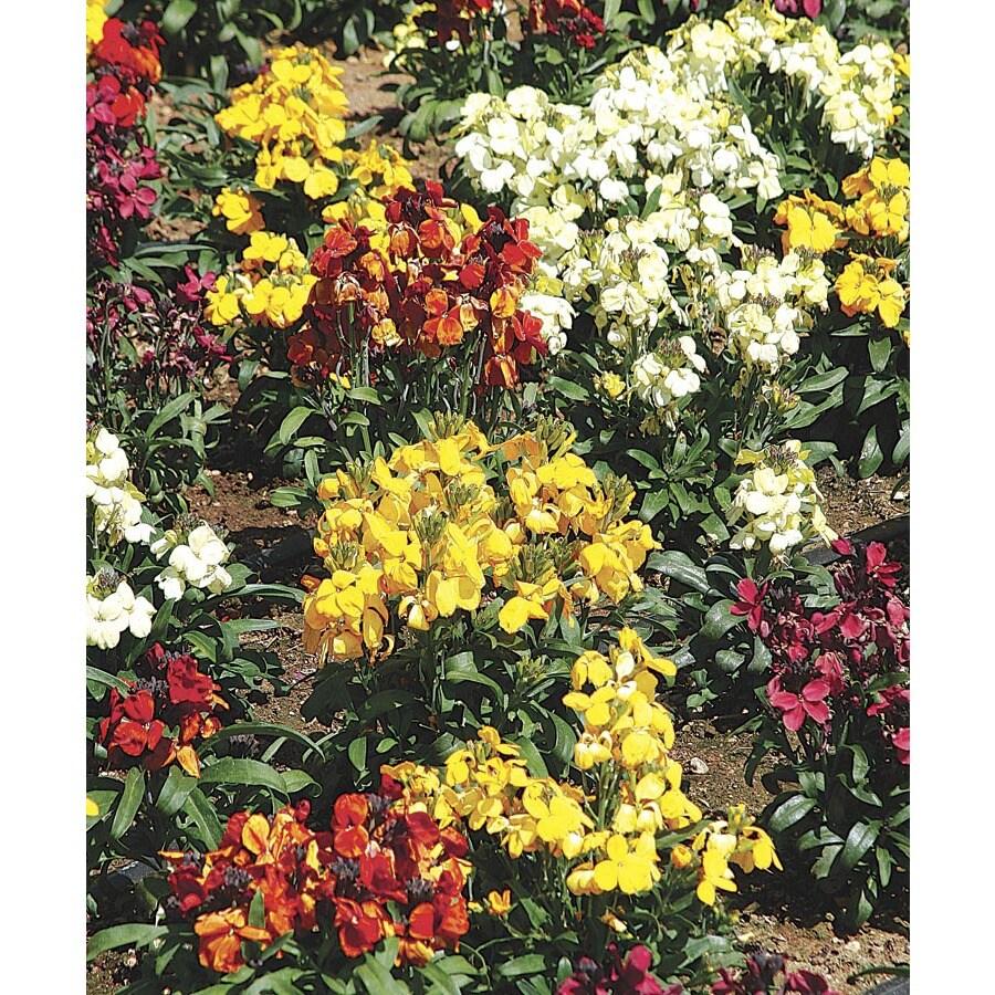 1-Quart Wallflower (Lw04008)