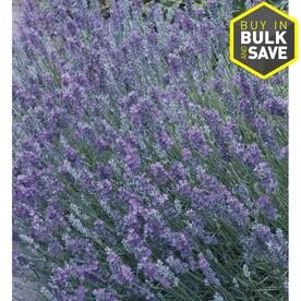 1-Quart in Pot English Lavender (L6071)