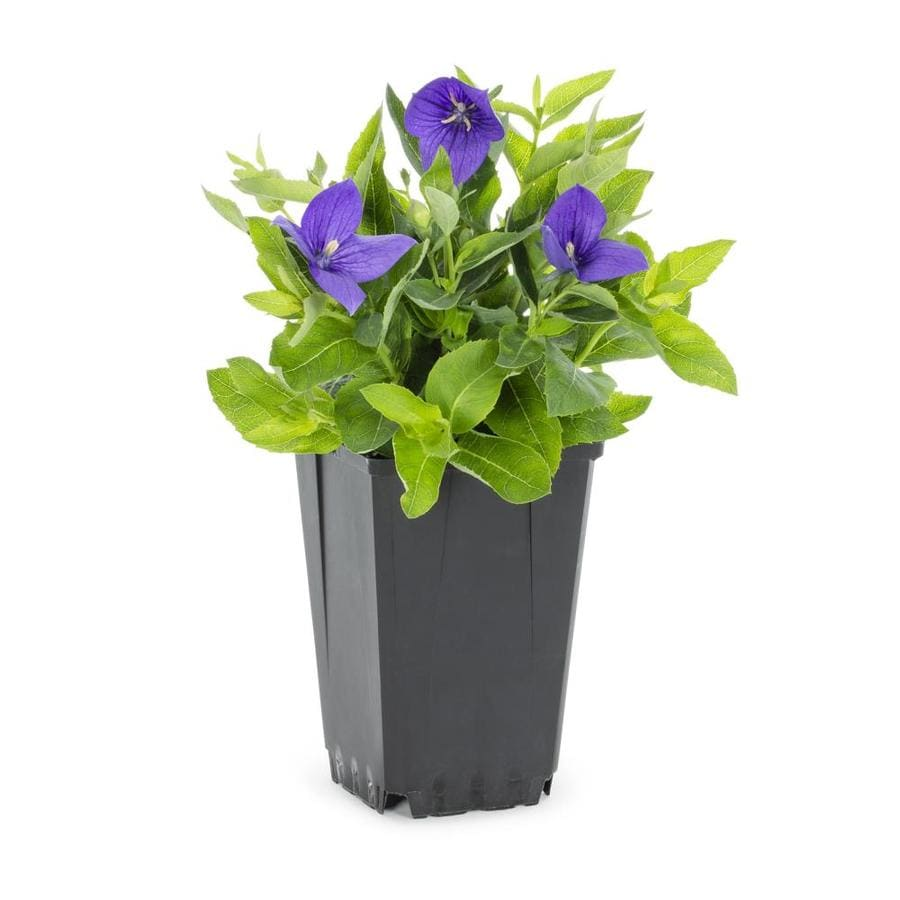 Shop 1 Quart Potted Balloon Flower L5676 At Lowes