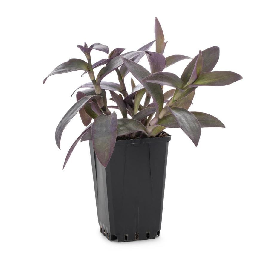 1-Quart Spiderwort (L0047)