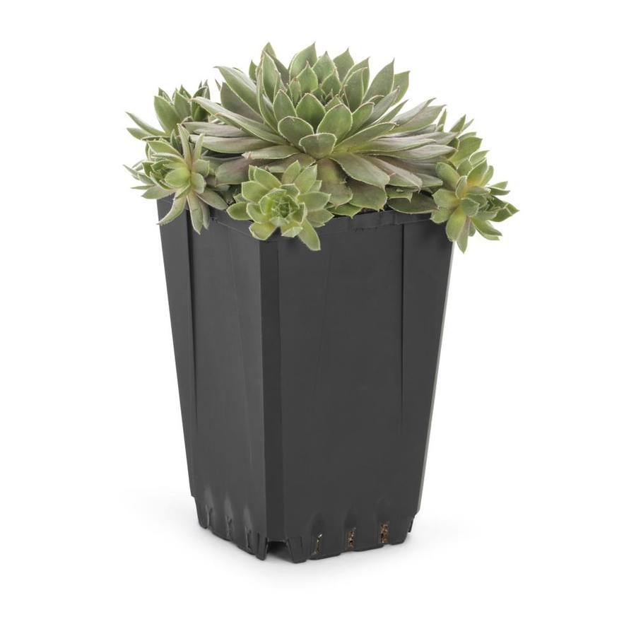 1-Quart Hardy Hens and Chicks Pot (L24889)