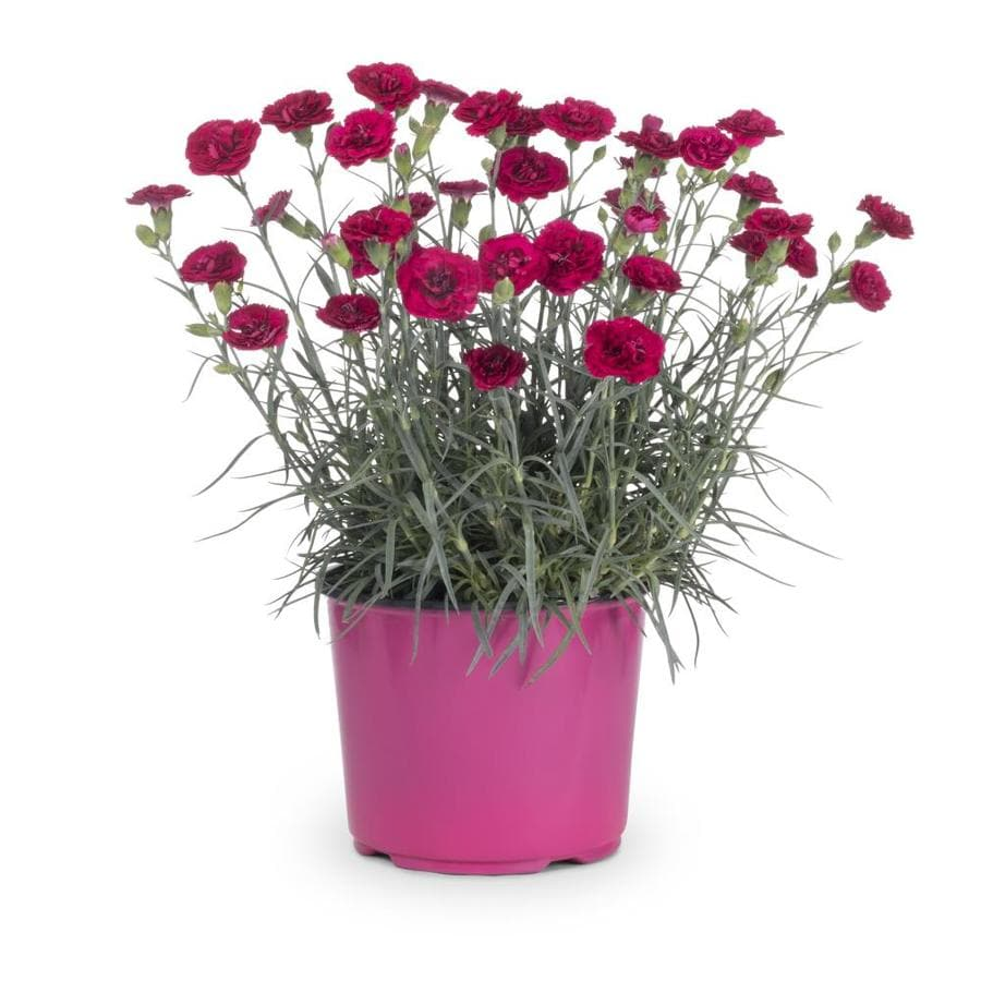 1.5-Gallon Dianthus (L9857)