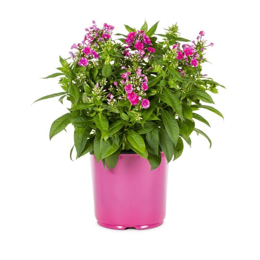1.5-Gallon Garden Phlox (L6680)