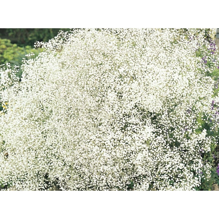1.5-Gallon Baby's Breath (Lw04167)