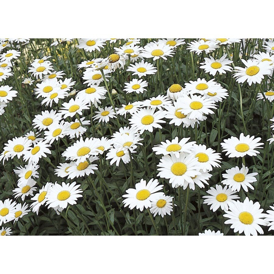 Shop 15 gallon potted shasta daisy l10999 at lowes 15 gallon potted shasta daisy l10999 izmirmasajfo
