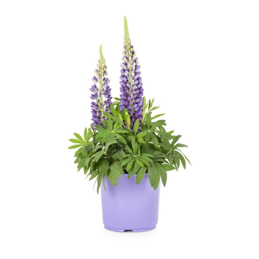 1.5-Gallon Lupine (Lw01792)