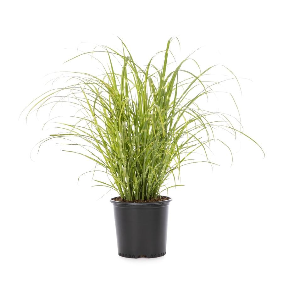 2.25-Gallon Eulalia Grass (L3912)