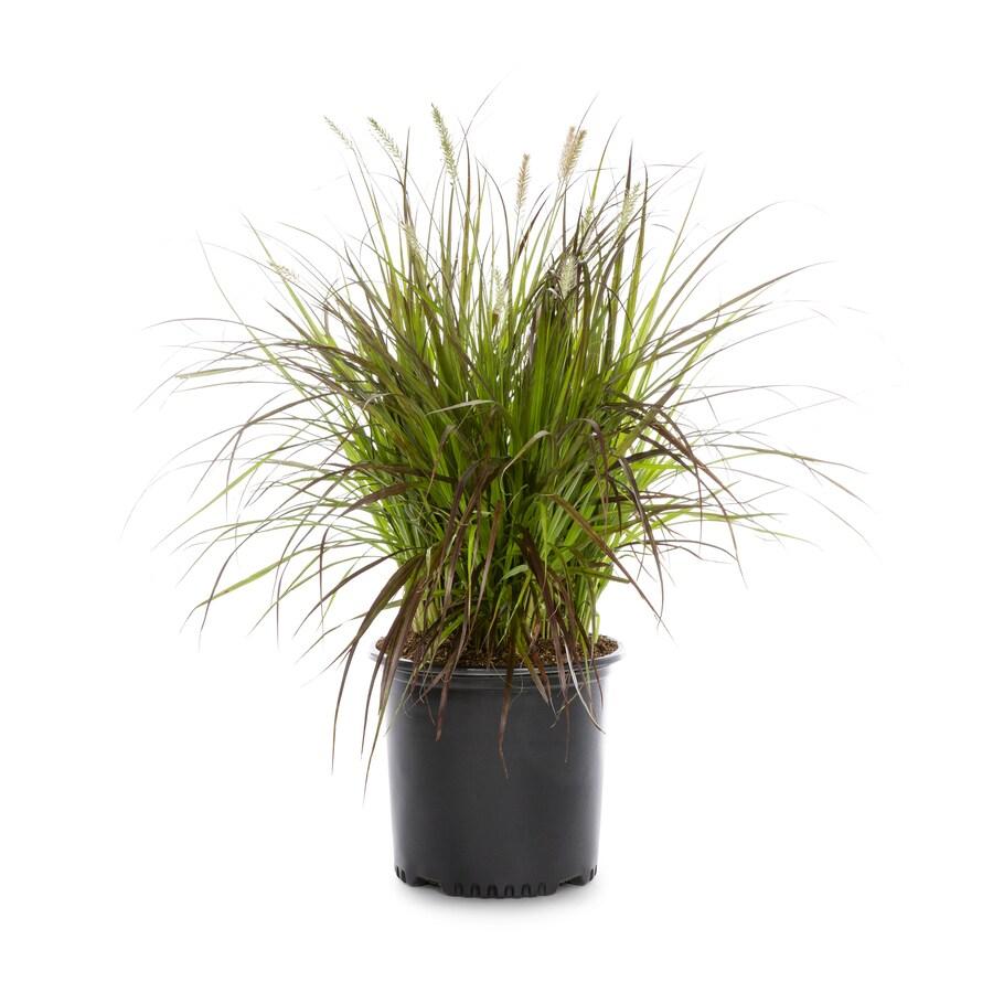 2.25-Gallon Fountain Grass (L4997)